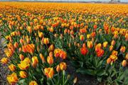 A Dutch tulip field