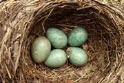 Five green eggs in a nest