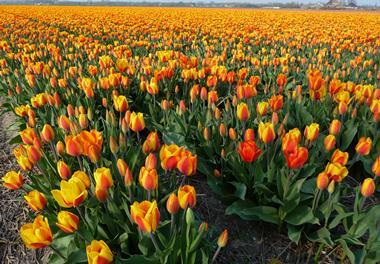 A Dutch tulip field